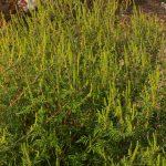 Ambrosia artemisiifolia – planta nedorita